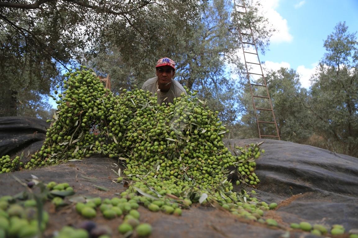 موسم قطف الزيتون الغزيون يستعينون بسواعد أصدقائهم لمساعدتهم في قطف ثمار الزيتون (38076933) 