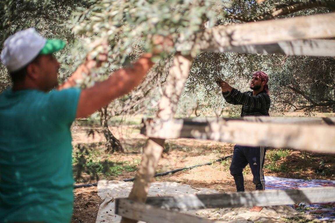 موسم قطف الزيتون الغزيون يستعينون بسواعد أصدقائهم لمساعدتهم في قطف ثمار الزيتون (38076935) 