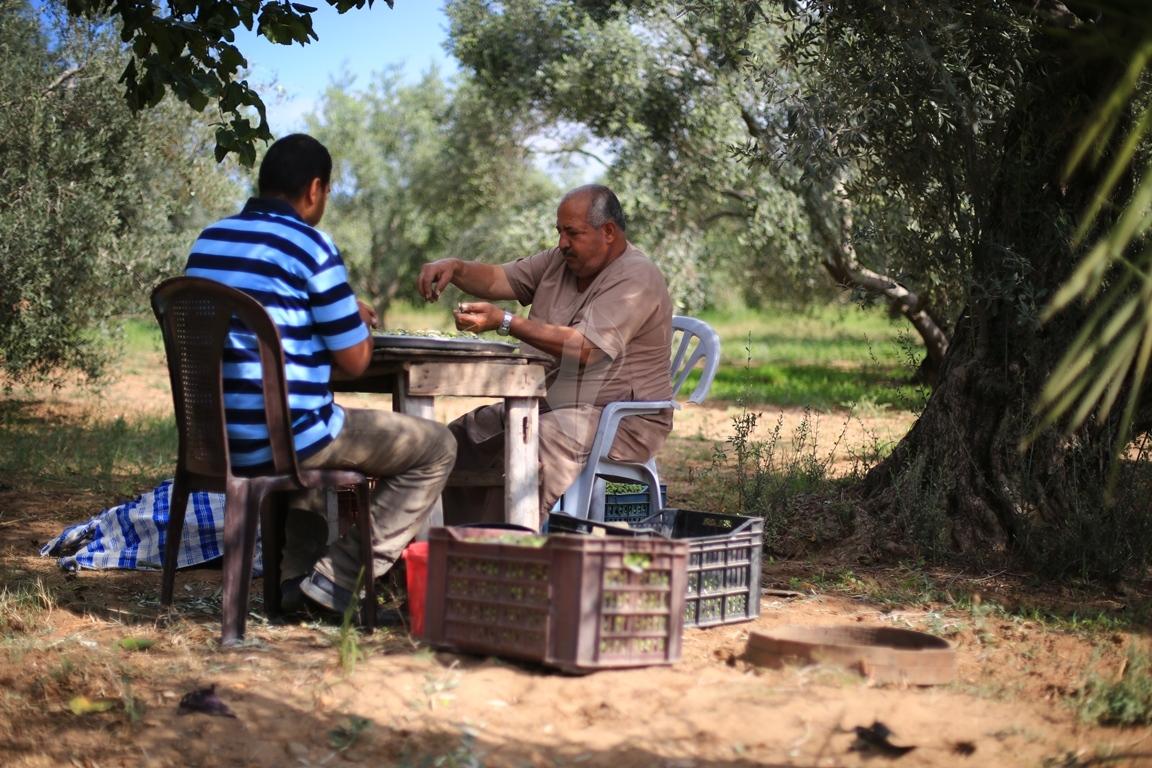 موسم قطف الزيتون الغزيون يستعينون بسواعد أصدقائهم لمساعدتهم في قطف ثمار الزيتون (38076937) 