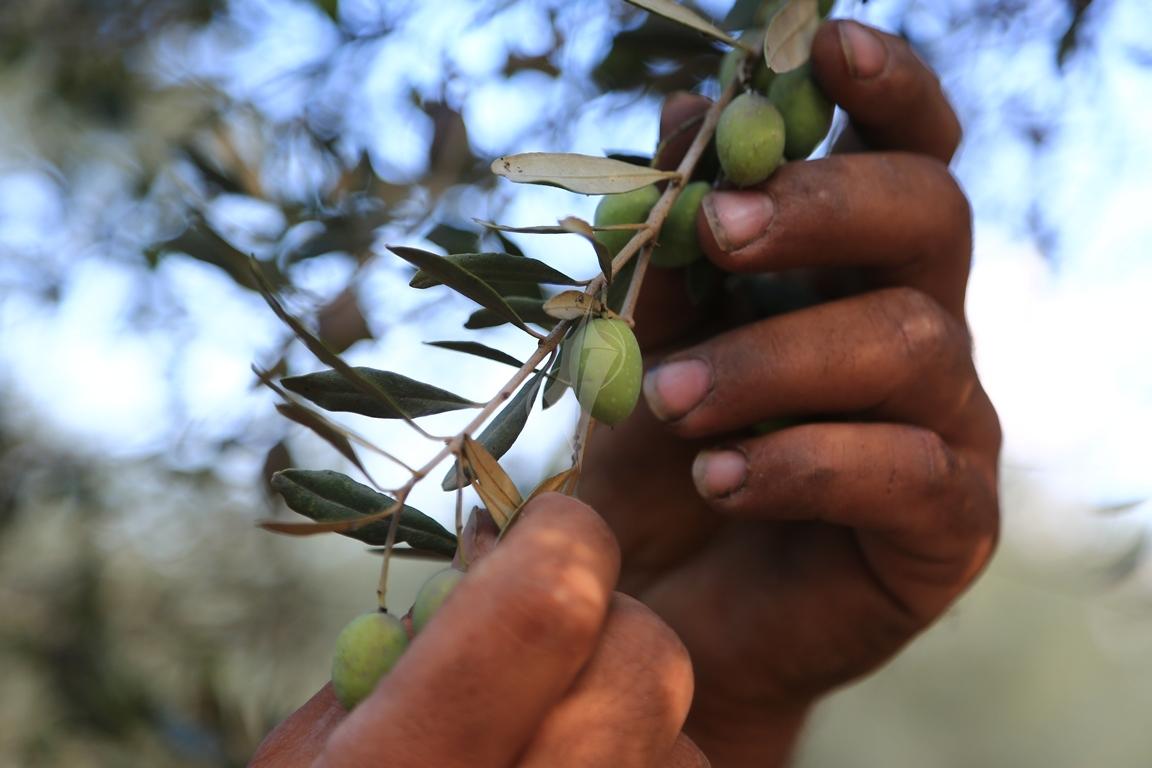 موسم قطف الزيتون الغزيون يستعينون بسواعد أصدقائهم لمساعدتهم في قطف ثمار الزيتون (1)