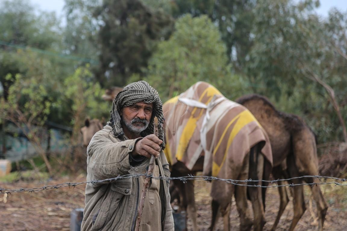 مواطن يرعى الإبل  رغم برودة الطقس وغزارة الأمطار (39191043) 