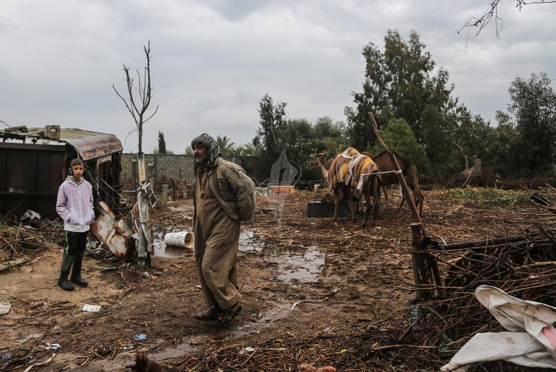 مواطن يرعى الإبل  رغم برودة الطقس وغزارة الأمطار (39191045) 