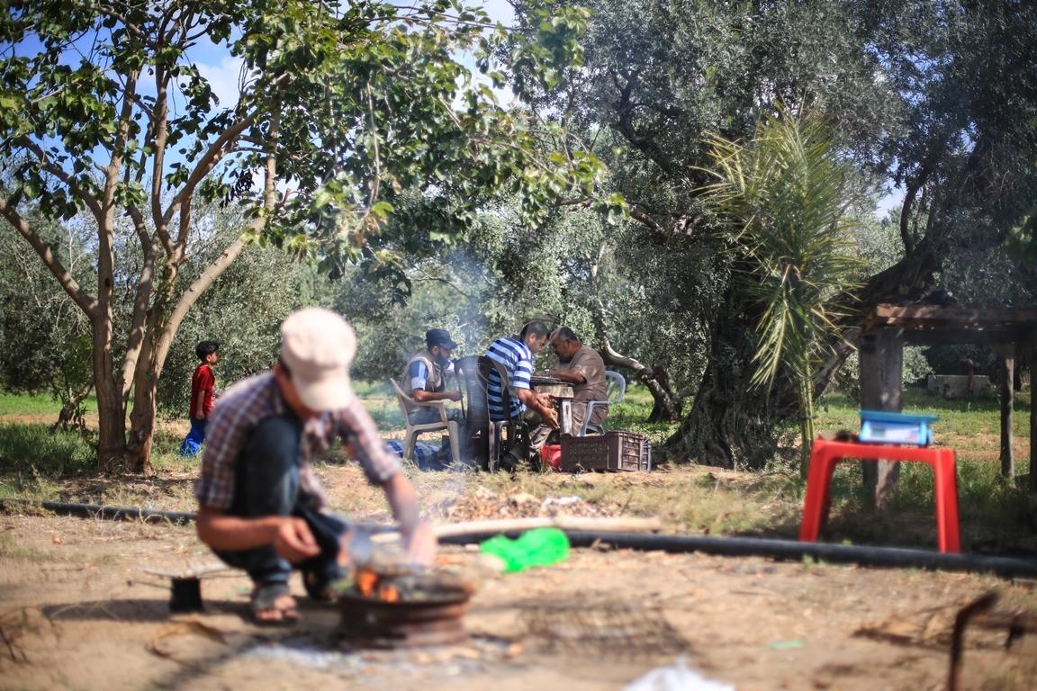 موسم قطف الزيتون الغزيون يستعينون بسواعد أصدقائهم لمساعدتهم في قطف ثمار الزيتون (38076938) 