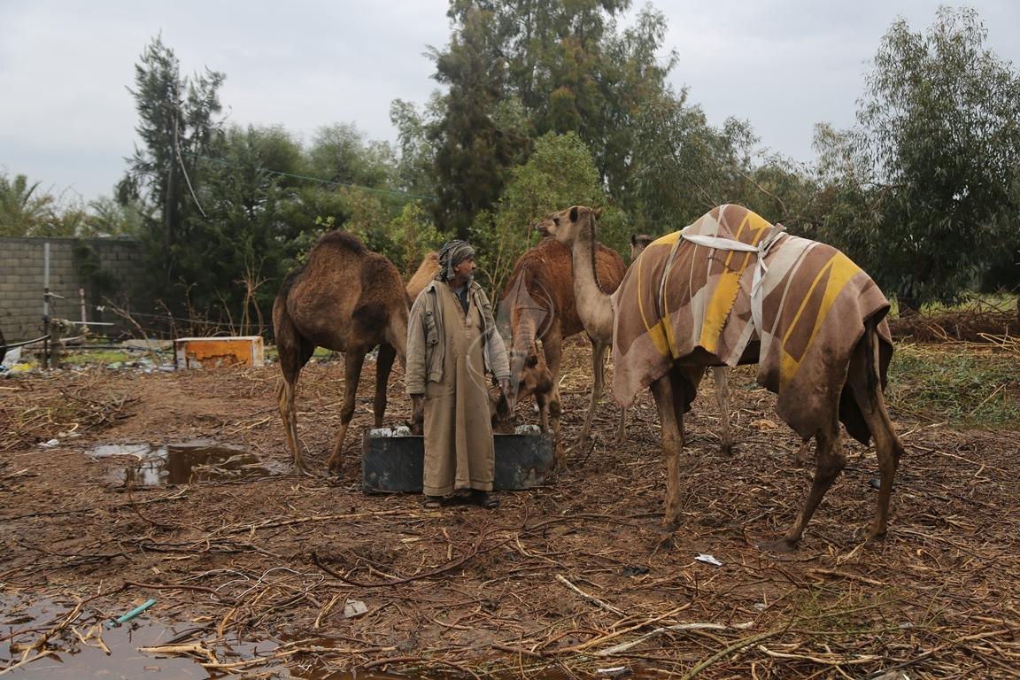 مواطن يرعى الإبل  رغم برودة الطقس وغزارة الأمطار (1)