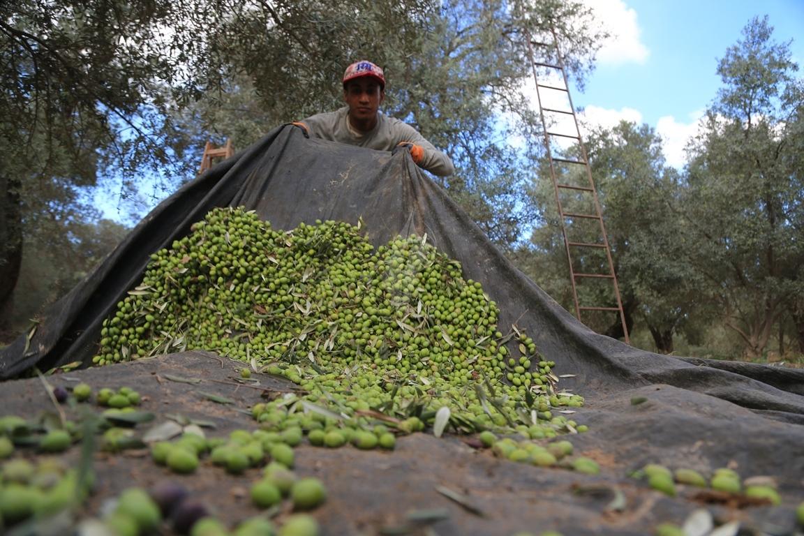 موسم قطف الزيتون الغزيون يستعينون بسواعد أصدقائهم لمساعدتهم في قطف ثمار الزيتون (38076932) 