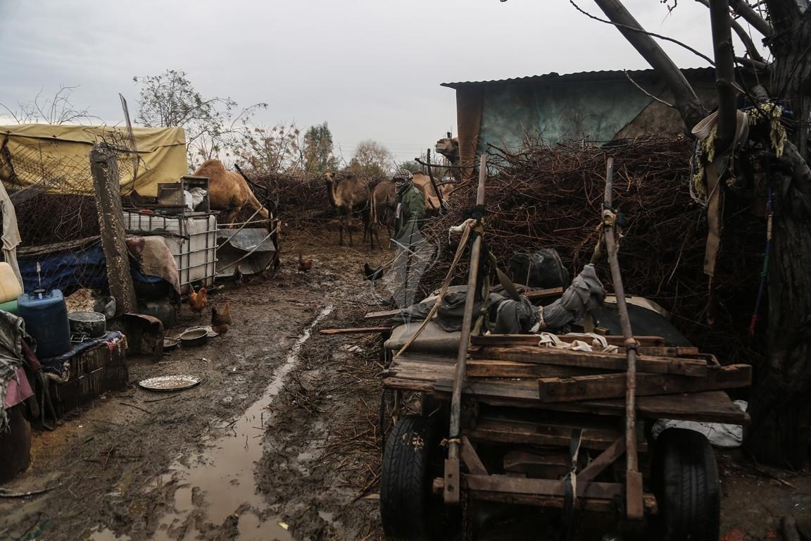 مواطن يرعى الإبل  رغم برودة الطقس وغزارة الأمطار (39191049) 