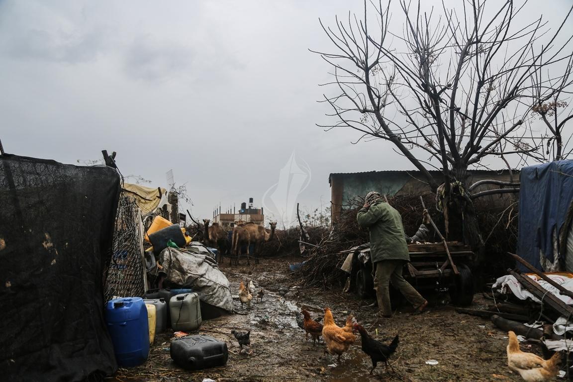 مواطن يرعى الإبل  رغم برودة الطقس وغزارة الأمطار (39191048) 