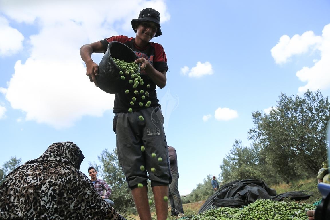 موسم قطف الزيتون الغزيون يستعينون بسواعد أصدقائهم لمساعدتهم في قطف ثمار الزيتون (38076930) 