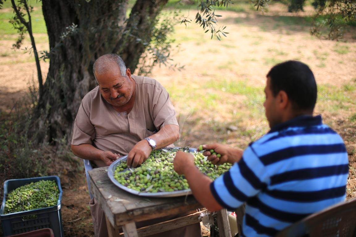موسم قطف الزيتون الغزيون يستعينون بسواعد أصدقائهم لمساعدتهم في قطف ثمار الزيتون (38076936) 