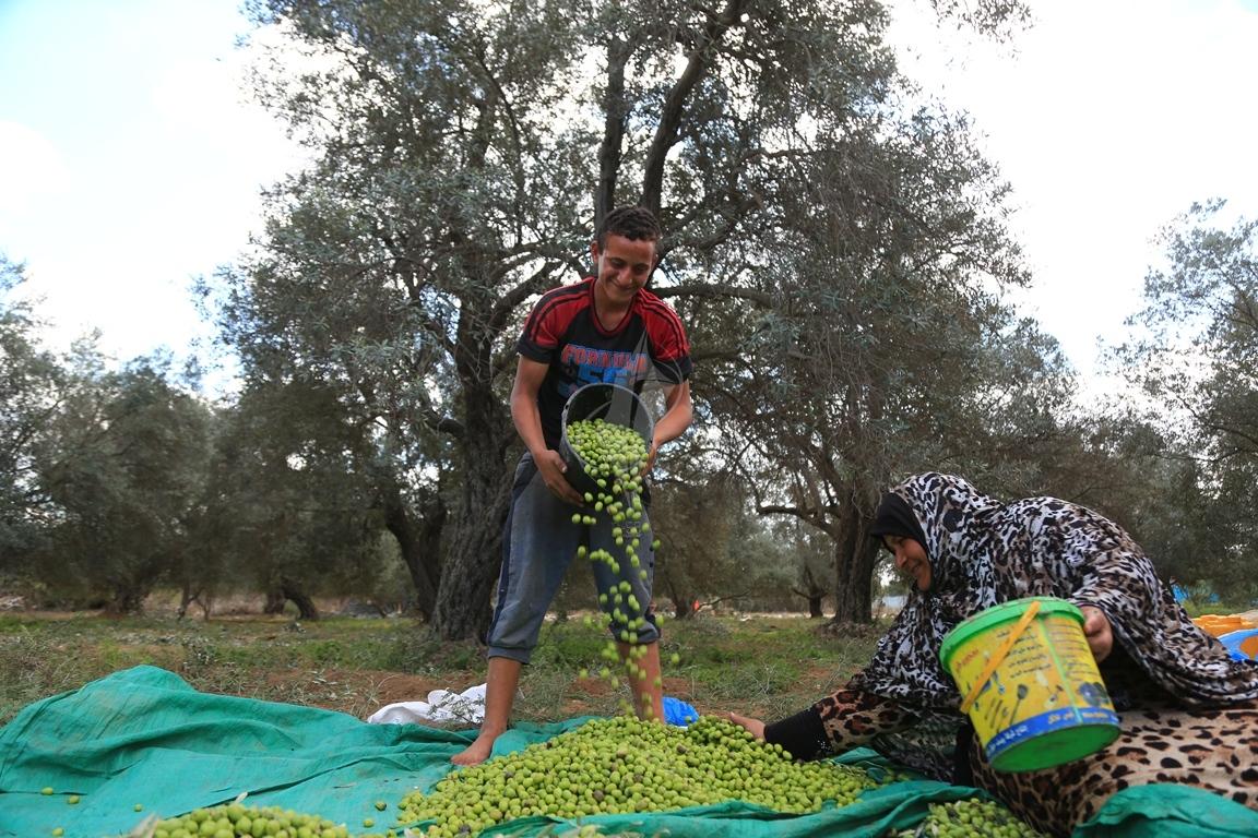 موسم قطف الزيتون الغزيون يستعينون بسواعد أصدقائهم لمساعدتهم في قطف ثمار الزيتون (38076931) 