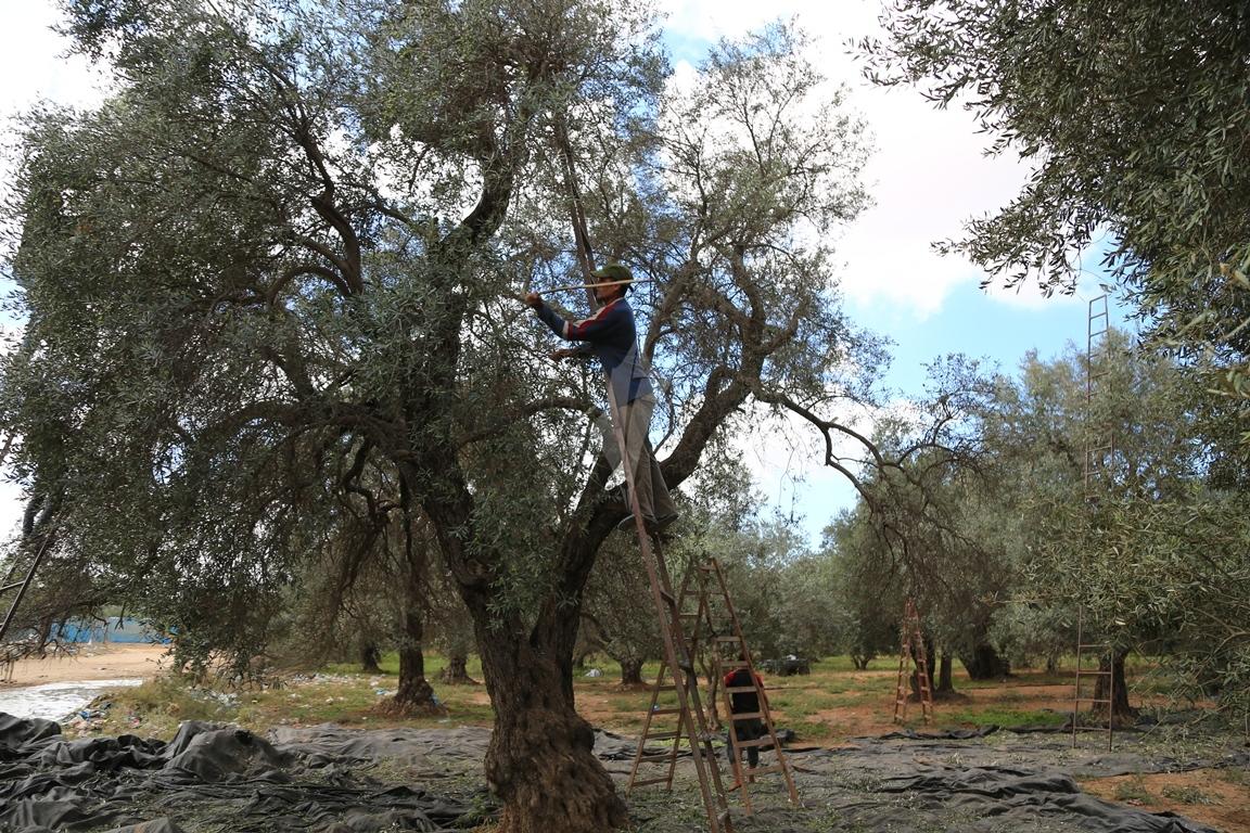 موسم قطف الزيتون الغزيون يستعينون بسواعد أصدقائهم لمساعدتهم في قطف ثمار الزيتون (38076934) 