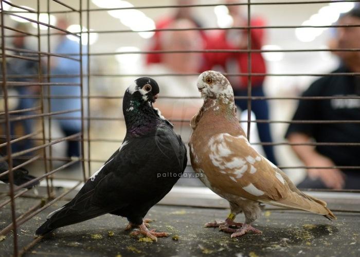 طيور الزينة
