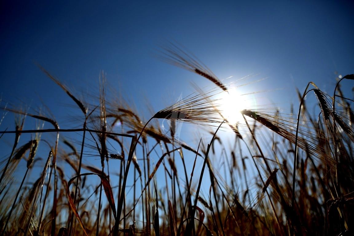 حصاد القمح (5)