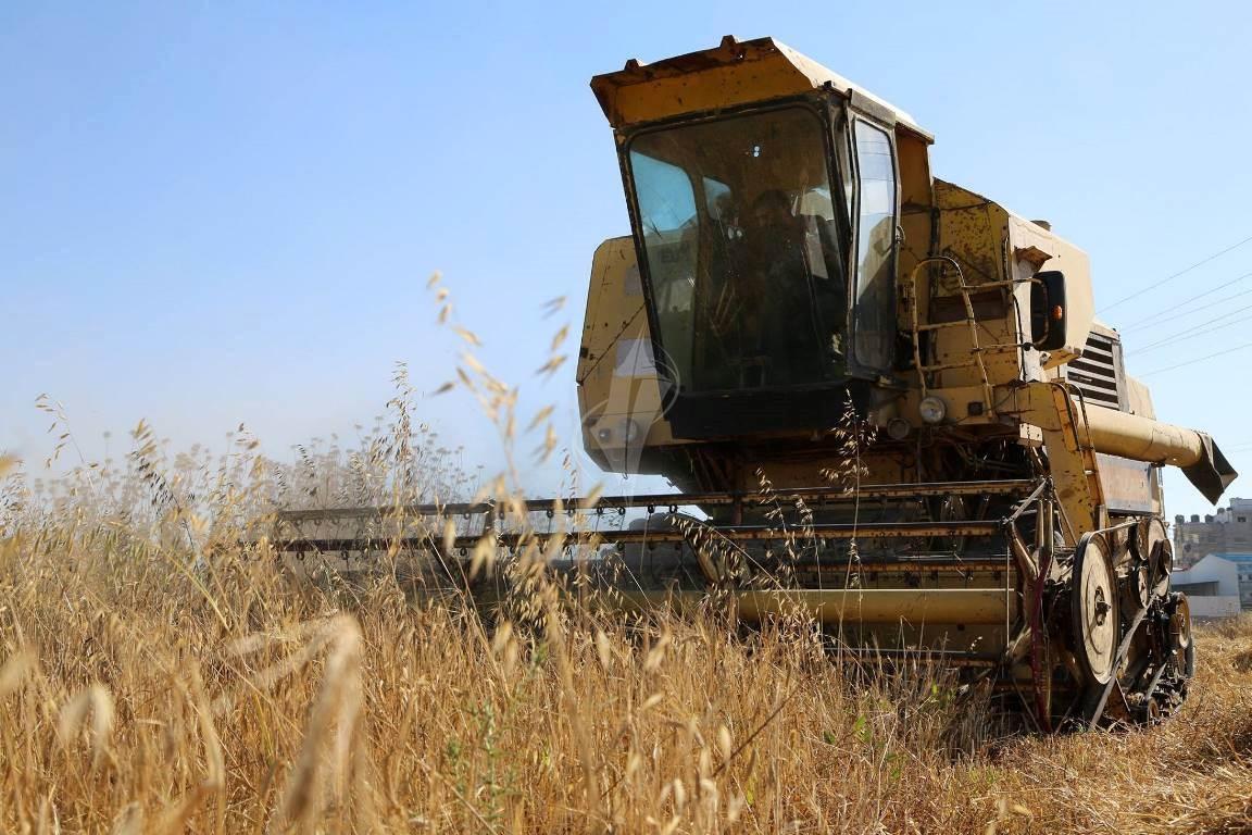 حصاد القمح (22)