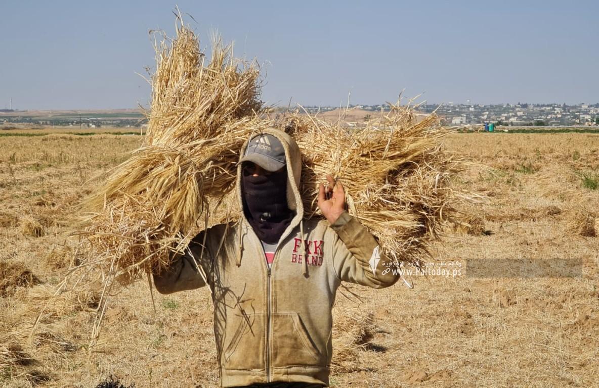 موسم حصاد القمح (3).jpeg