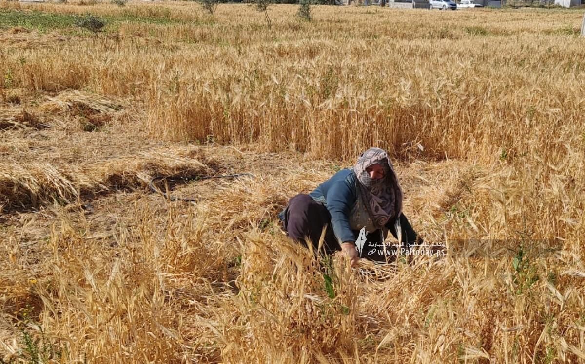 موسم حصاد القمح (14).jpeg