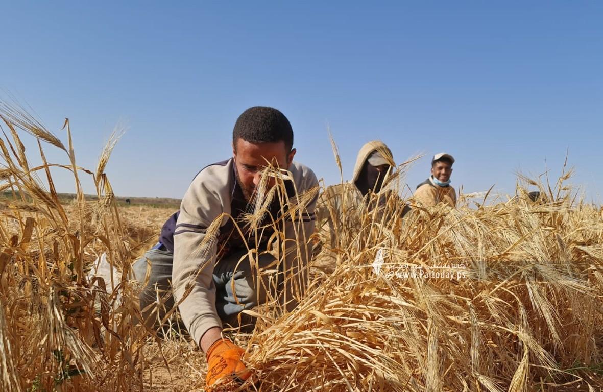 موسم حصاد القمح (7).jpeg