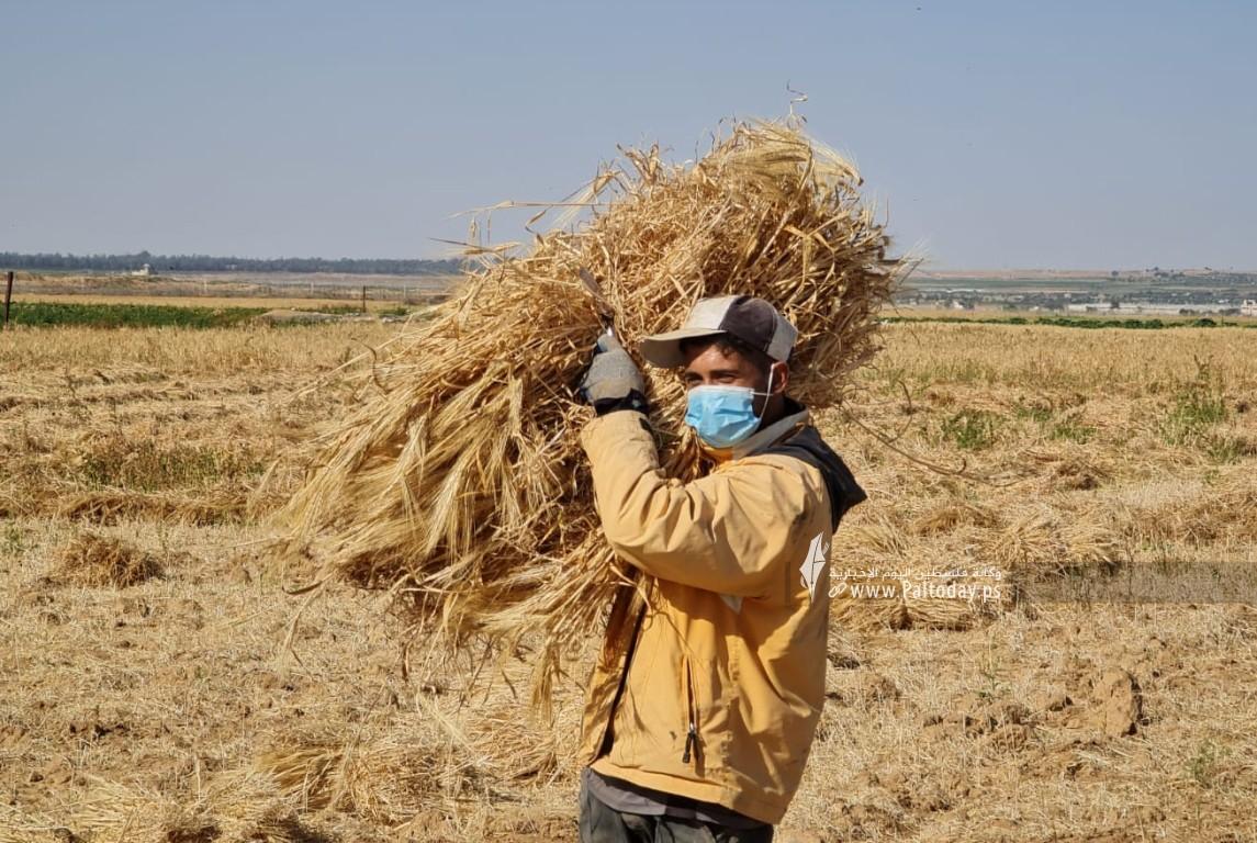 موسم حصاد القمح (6).jpeg