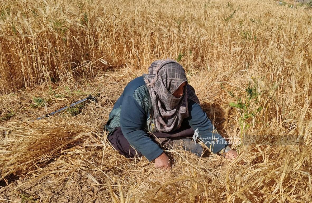 موسم حصاد القمح (2).jpeg