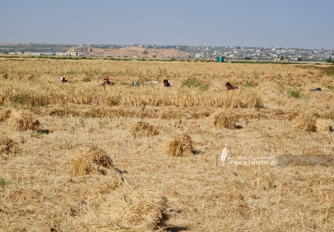 موسم حصاد القمح (12).jpeg