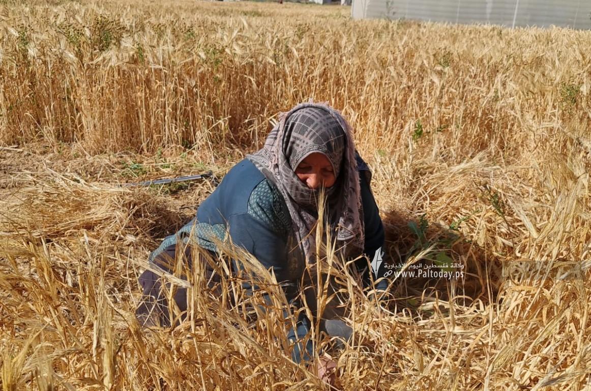 موسم حصاد القمح (1).jpeg