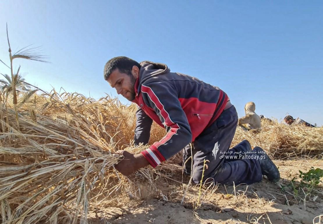 موسم حصاد القمح (10).jpeg