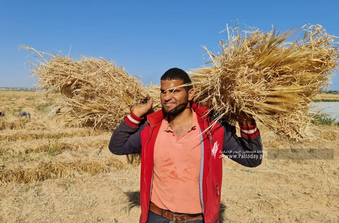موسم حصاد القمح (8).jpeg