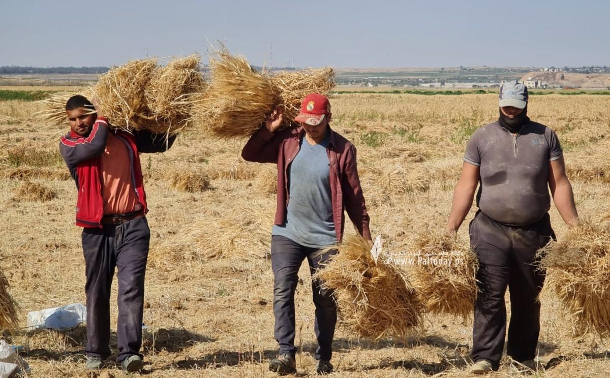 موسم حصاد القمح (4).jpeg