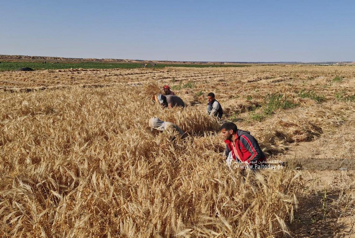 موسم حصاد القمح (11).jpeg