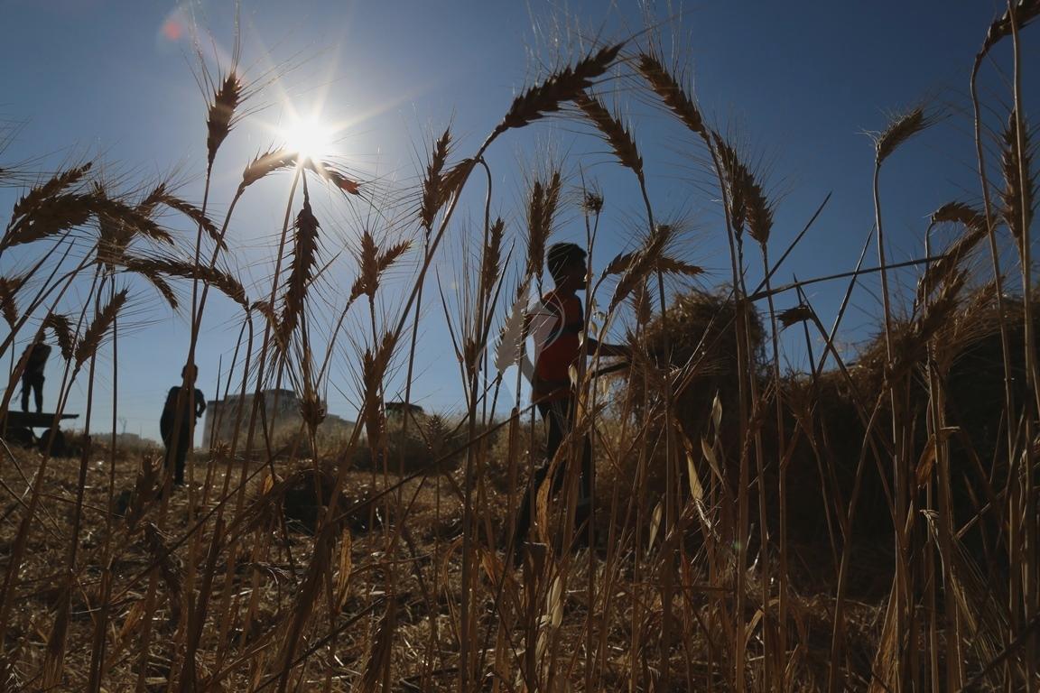 حصاد القمح (10)