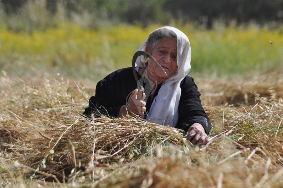 حصاد القمح (3)