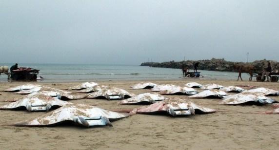 سمك غزة