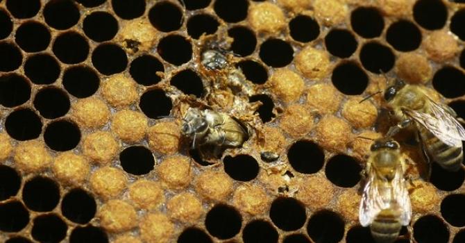 جني العسل