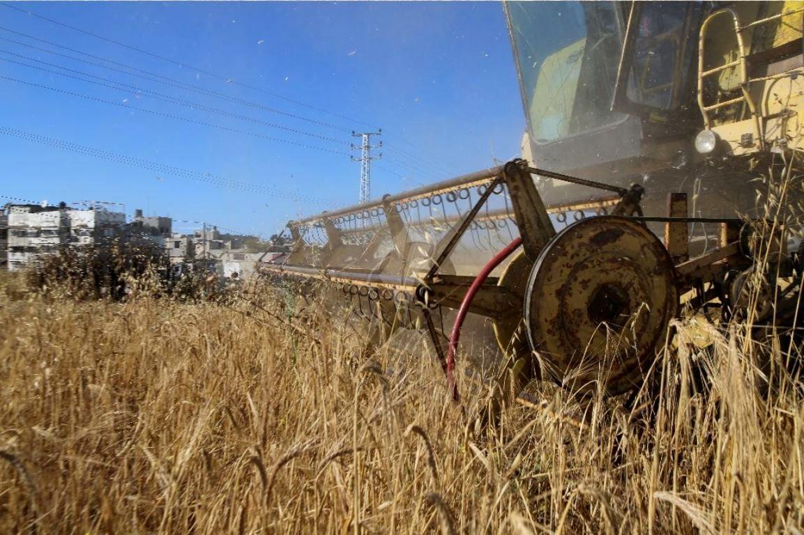 حصاد القمح (20)