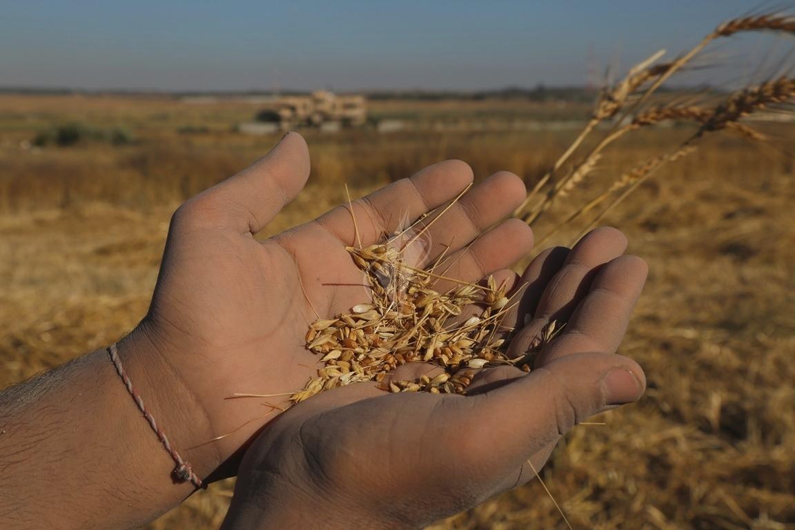 حصاد القمح (14)