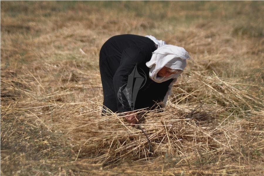 حصاد القمح (1)
