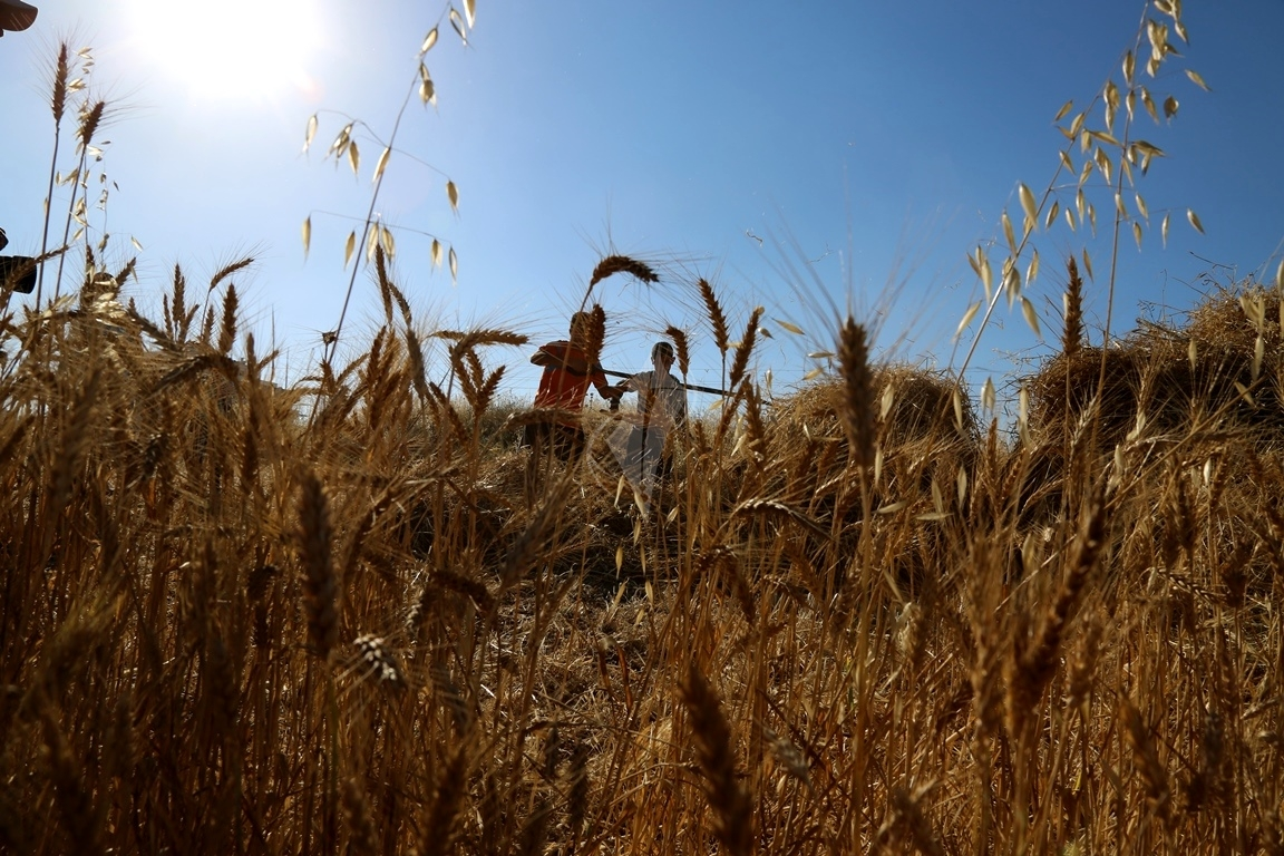 حصاد القمح (9)