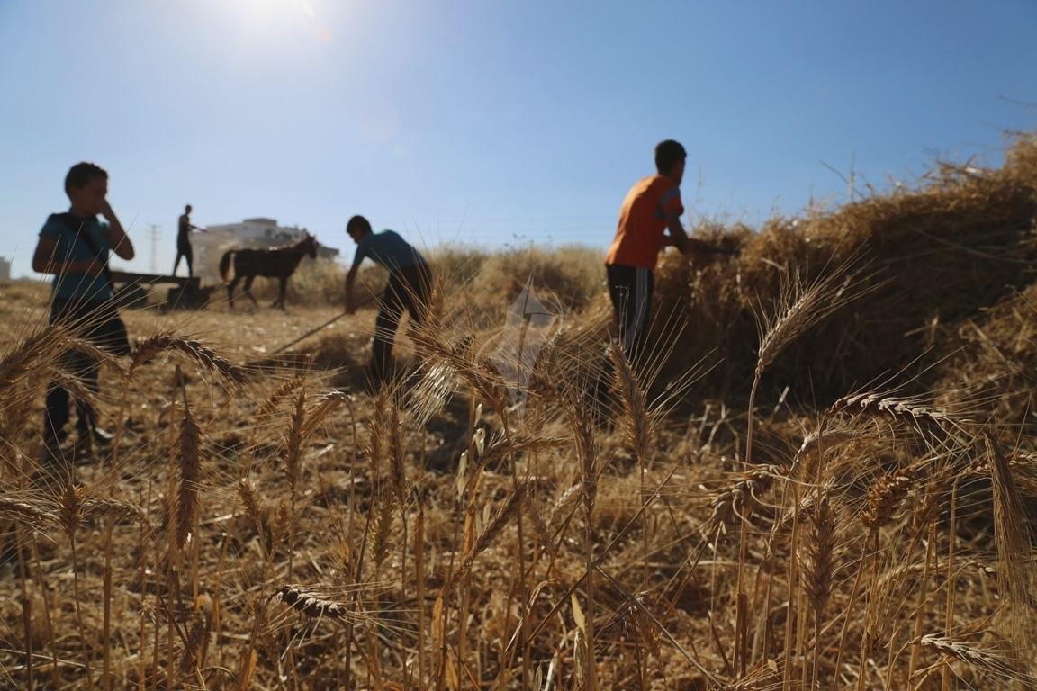 حصاد القمح (11)