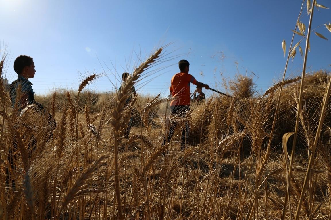حصاد القمح (12)