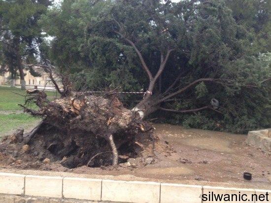 سقوط اشجار الاقصى