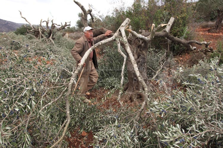 مستوطنون يقطعون مئات أشجار الزيتون في قرية قريوت قرب نابلس